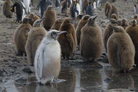 King Penguin  albino chick Banque d'images