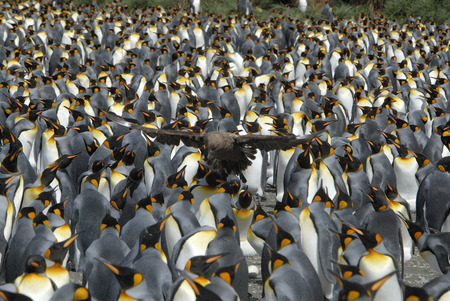 glasier: Colony King Penguins Stock Photo
