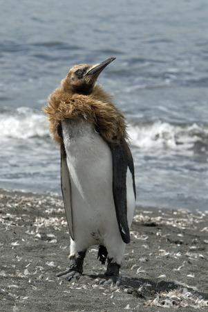 glasier: King Penguin chick