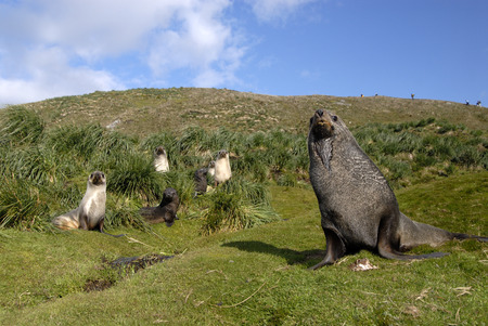 Fur Seal  Stock Photo - 1728934