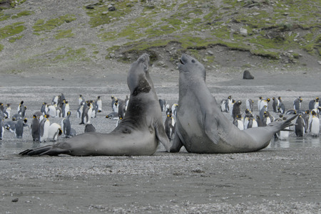 Elephant Seals Stock Photo - 1728925