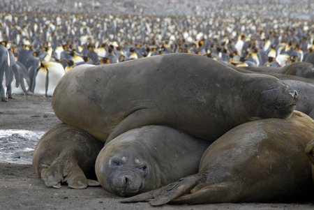 Elephant Seals Stock Photo - 1728924