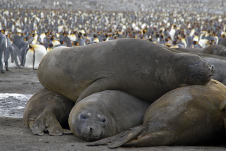 glasier: Elephant Seals