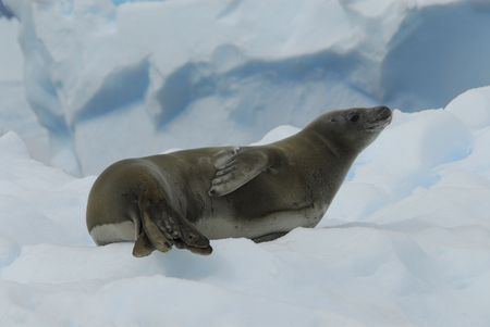 Crabeater Seal Banque d'images