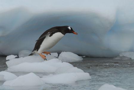 Gentoo Penguin Standard-Bild