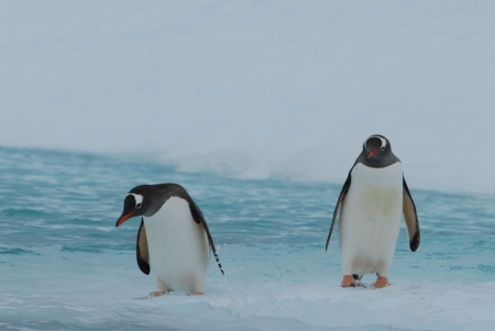 Gentoo Penguin photo