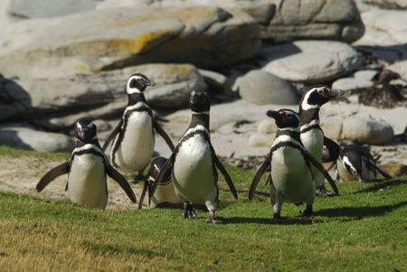 Magelanic Penguins photo