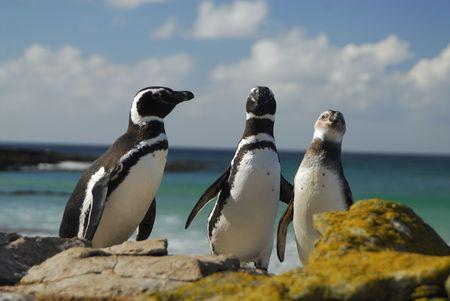 Magelanic Penguins Stock Photo - 5490365