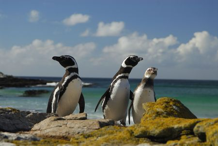 Magelanic Penguins photo