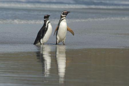 glasier: Magelanic Penguins