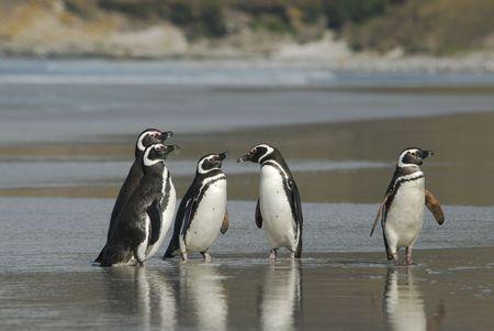 Magelanic Penguins Stock Photo - 5490392