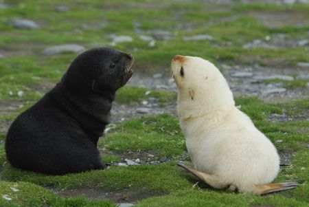 pups: Fur seal pup Stock Photo