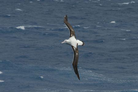 wandering: Wandering Albatross Stock Photo