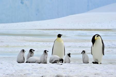 Emperor Penguin with chicks  Snow Hill, Antarctica 2010 on the icebreaker Kapitan Khlebnikov