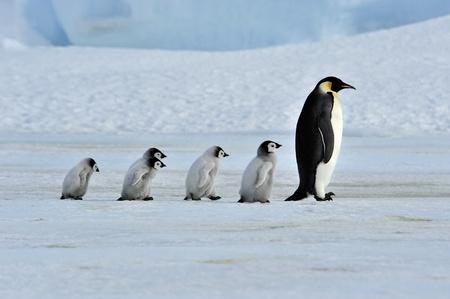 Pingüino emperador con polluelos Snow Hill, 2010 de la Antártida en el rompehielos Kapitan Jlébnikov
