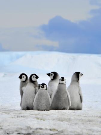 emperor: Emperor Penguin chicks  Snow Hill, Antarctica 2010 on the icebreaker Kapitan Khlebnikov Stock Photo