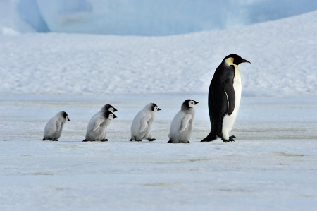 Emperor Penguin with chicks Snow Hill, Antarctica 2010 on the icebreaker Kapitan Khlebnikov