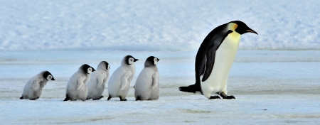 Emperor Penguin  with chicks Snow Hill, Antarctica 2010 on the icebreaker Kapitan Khlebnikov photo