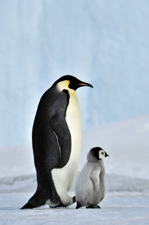 Emperor Penguin  with chick Snow Hill, Antarctica 2010 on the icebreaker Kapitan Khlebnikov photo