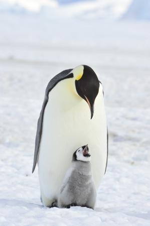 Emperor Penguin  with chick Snow Hill, Antarctica 2010 on the icebreaker Kapitan Khlebnikov