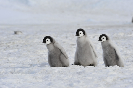 Emperor Penguin  chicks Snow Hill, Antarctica 2010 on the icebreaker Kapitan Khlebnikov photo