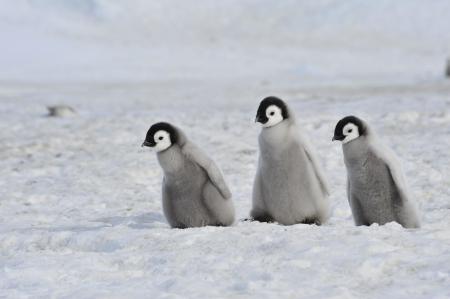 Emperor Penguin  chicks Snow Hill, Antarctica 2010 on the icebreaker Kapitan Khlebnikov