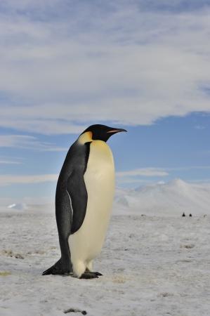 Emperor Penguin Snow Hill, Antarctica 2010 on the icebreaker Kapitan Khlebnikov
