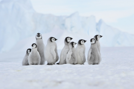 Penguins: Emperor Penguin  chicks Snow Hill, Antarctica 2010 on the icebreaker Kapitan Khlebnikov