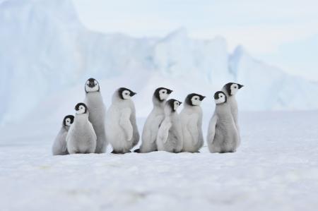 emperors: Emperor Penguin  chicks Snow Hill, Antarctica 2010 on the icebreaker Kapitan Khlebnikov