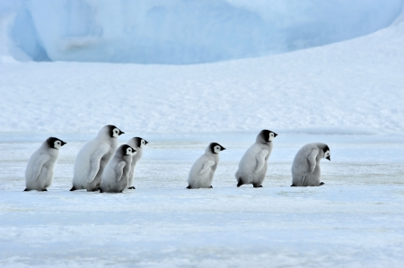 Emperor Penguin chicks  Snow Hill, Antarctica 2010 on the icebreaker Kapitan Khlebnikov Banco de Imagens