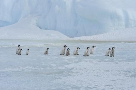 Emperor Penguin chicks  Snow Hill, Antarctica 2010 on the icebreaker Kapitan Khlebnikov Standard-Bild