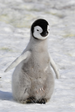 Emperor Penguin chick  Snow Hill, Antarctica 2010 on the icebreaker Kapitan Khlebnikov photo