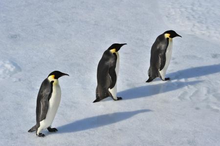 Emperor Penguins Snow Hill, Antarctica 2010 on the icebreaker Kapitan Khlebnikov