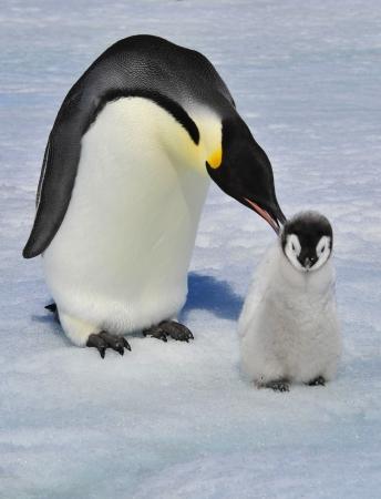 Emperor Penguin mit Küken Snow Hill, Antarktis 2010 auf dem Eisbrecher Kapitan Khlebnikov