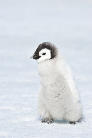 Emperor Penguin chick Snow Hill, Antarctica 2010 on the icebreaker Kapitan Khlebnikov Banque d'images