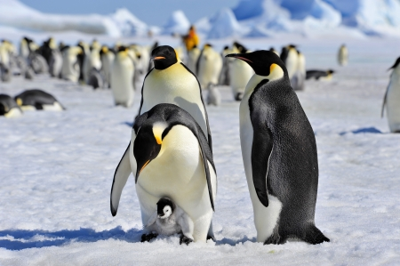 Emperor Penguins  with chick Snow Hill, Antarctica 2010 on the icebreaker Kapitan Khlebnikov Banque d'images