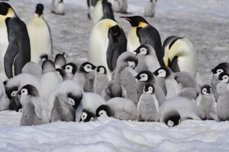 Emperor Penguins with chicks  Snow Hill, Antarctica 2010 on the icebreaker Kapitan Khlebnikov