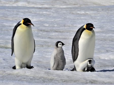 Emperor Penguins with chicks  Snow Hill, Antarctica 2010 on the icebreaker Kapitan Khlebnikov photo