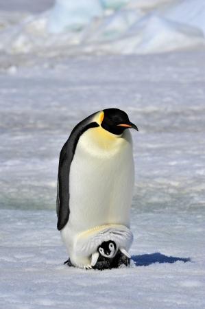 pinguins: Manchot empereur chick avec Snow Hill, Antarctique 2010 sur le brise-glace Kapitan Khlebnikov