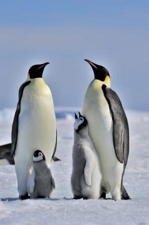 emperors: Emperor Penguins with chicks  Snow Hill, Antarctica 2010 on the icebreaker Kapitan Khlebnikov