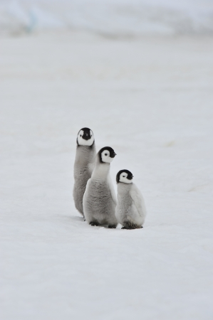 Emperor Penguinchicks  Snow Hill, Antarctica 2010 on the icebreaker Kapitan Khlebnikov photo