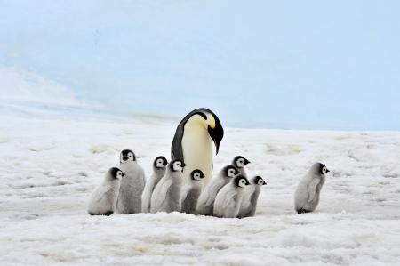 Emperor Penguin with chicks Snow Hill, Antarctica 2010 on the icebreaker Kapitan Khlebnikov Standard-Bild