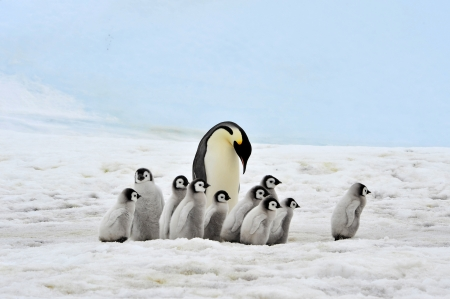 emperors: Emperor Penguin with chicks Snow Hill, Antarctica 2010 on the icebreaker Kapitan Khlebnikov Stock Photo