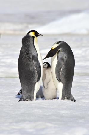 Emperor Penguins with chick Snow Hill, Antarctica 2010 on the icebreaker Kapitan Khlebnikov