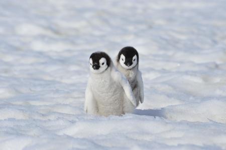 emperor: Emperor Penguin  chiks Snow Hill, Antarctica 2010 on the icebreaker Kapitan Khlebnikov