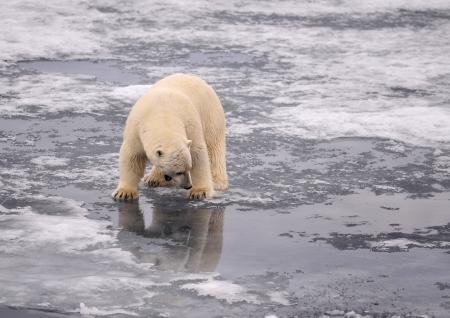 svalbard: Polar Bear on the ice Svalbard
