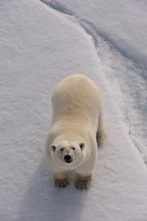 Polar Bear on the ice Svalbard 2012 Standard-Bild