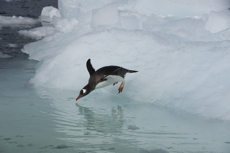 gentoo: Gentoo Penguin jumping in the water from iceberg Stock Photo