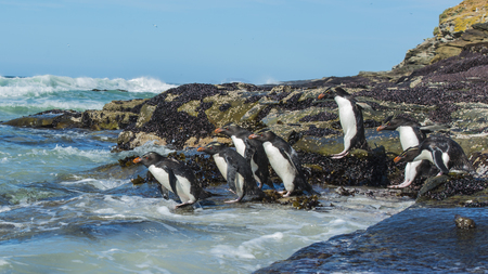 forelock: Rockhopper Penguins coming from the ocean, Falkland Island Stock Photo