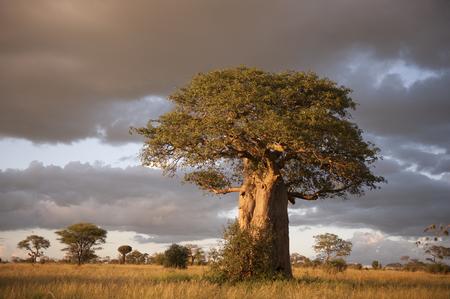 Mooie Baobab bomen bij zonsondergang op de laan van de baobabs in Madagaskar.